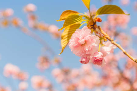 Cherry blossoming in the sunshine. Spring and tranquil nature concept. Toned image. Horizontal Фото со стока - 115820867