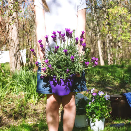 Girl with lavender in the pot in the backyard garden. Family gardening spring concept. Faceless trend