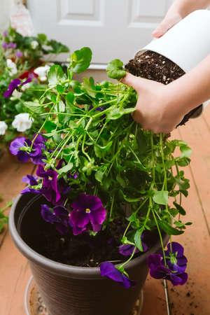 Girl replanting purple viola on the outdoor apartment balcony. Family gardening, greenery concept Banco de Imagens