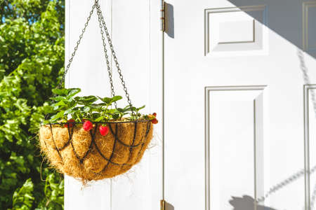 Strawberry in hanging basket with coconat liner at the condo balcony. Gardening, hobby, organic produce, green home concept