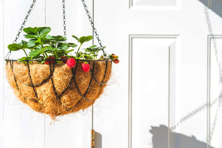 Strawberry in hanging basket with coconat liner at the condo balcony with white door. Gardening, hobby, organic produce, green home concept
