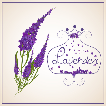 Watercolor card with a picture of a lavender in retro style. 向量圖像