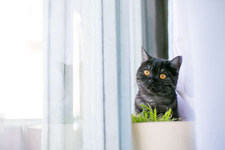 at looks out of hiding, surprise, hunting, fright, sunlight from the window, yellow eyes, British black. Place for the inscription of the text behind the bush, grass, on the windowsill, curtains Stock Photo