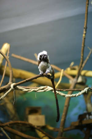 Oedipus tamarin, monkey, primacy sits on a branch indoors, in captivity, in a zoo, looks aside Фото со стока