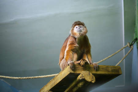Javanese langur, monkey, orange, shaggy primacy sits on a wooden shelf in a zoo indoors, looks in excitement, in danger, alerted