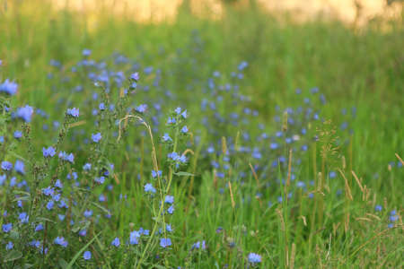 Field flowers lilac, blue, grass close-up, long-term view at dusk or dawn in the foreground, blurry behind, free space