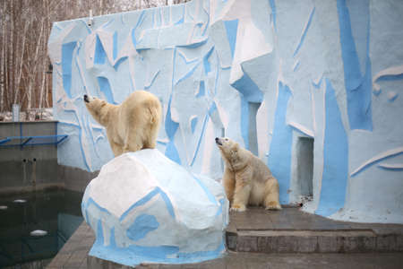 Two white polar bear in a zoo on a sunny day are the same. One bear stands on a stone, the second sits, leaning against the wall.
