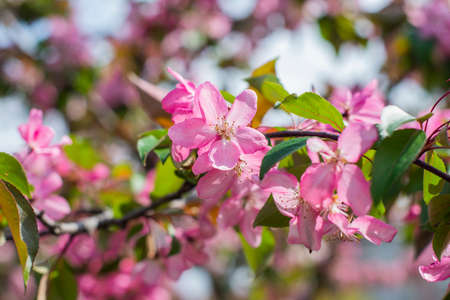 blossoming apple tree with flowers in the spring garden