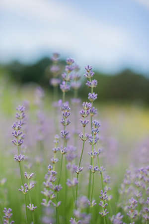 beautiful field with lavender lilac flowers