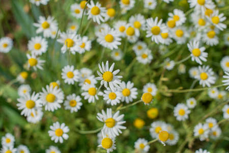 field in nature with chamomile flowers