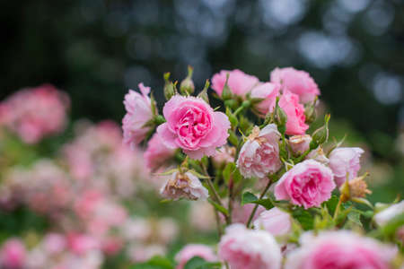 beautiful flowers roses plants in a botanical garden in nature