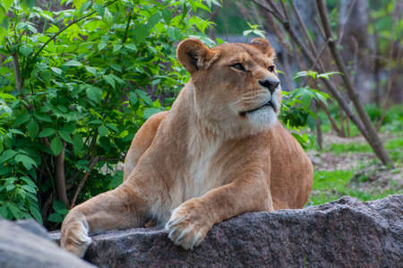 beautiful big lioness animal lies in nature