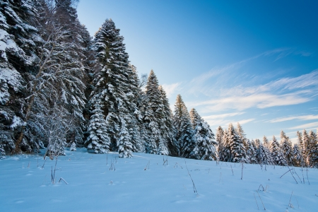 large fir stand on a snowy meadow in winter Stock Photo