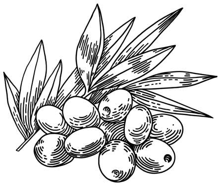 Olive branches isolated on white background, leaves, olives, vector hand drawn illustration