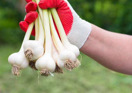 Harvest time. Freshly harvested garlic in the hands of women Stock Photo