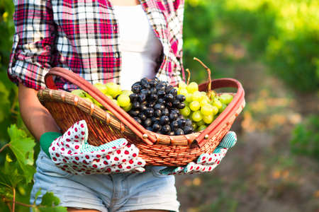 biological vineyard: Young woman with basket of grapes in the vineyard, close up. selective Focus Stock Photo