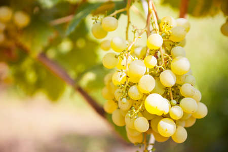Close Up White wine grapes in vineyard on a sunny day Stock Photo