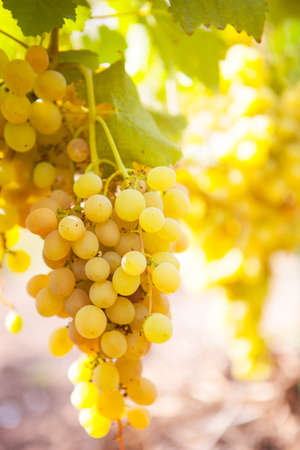 Close Up White wine grapes in vineyard on a sunny day Banco de Imagens