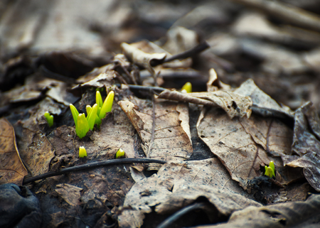 New life of young growing grass through old brown leaves in spring