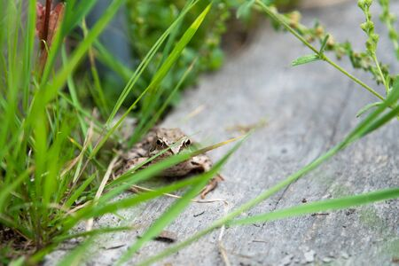 beautiful little brown frog sits in the grass and on the wood in a bright summer garden macro 免版税图像