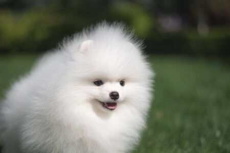 Little beautiful funny white dog German spitz baby face puppy on green grass runs plays and sits