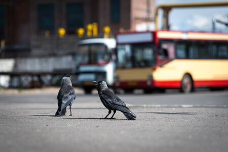 Urban birds pigeons and jackdaws at the bus station on a sunny day close-up