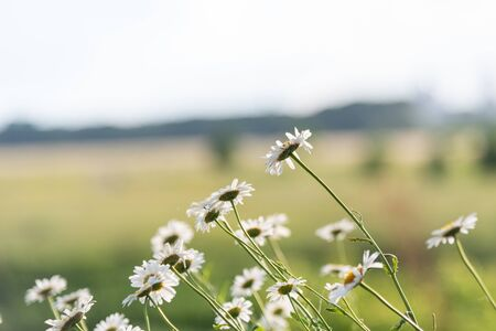 Beautiful camomiles in a green field in backlit in a romantic evening 免版税图像