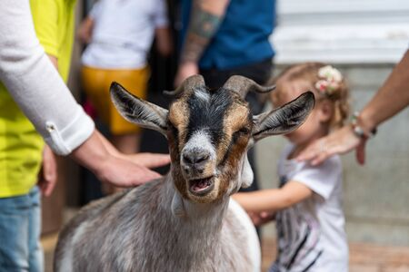 Happy small goat in a contact zoo is stroked by people and children