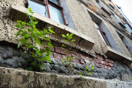 A tree grows from an old broken wall in the city. Ecological problems.