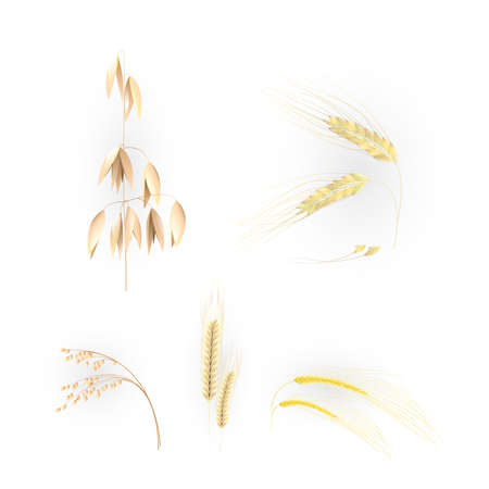 millet: Ears of grain Illustration