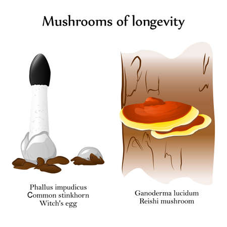 phallus: Vector mushrooms of longevity