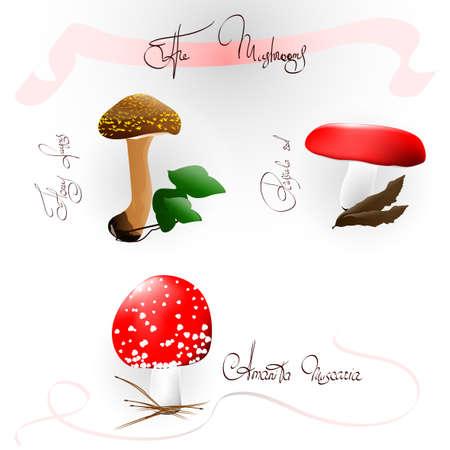 The mushrooms of Honey fungus, Russula red and Amanita Muscaria Stock Vector - 26049703