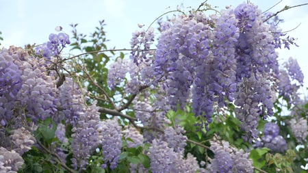 Slow-motion shooting. spring blossoms. vines with flowers and leaves of violet wisteria. Sky clouds