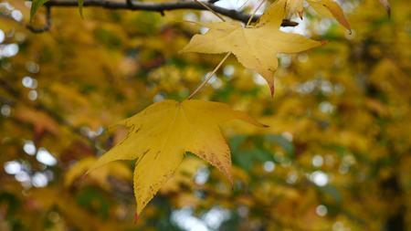 Maple Trees leaf . maple leaf with autumn colors. Beautiful background. Standard-Bild