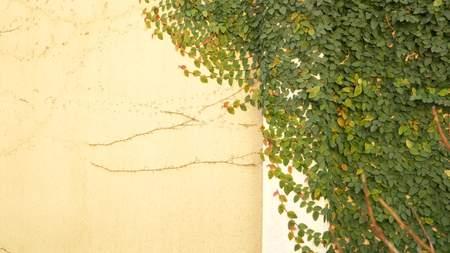 Grüner Efeu an der Wand. Platz kopieren