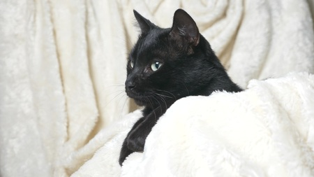 Black cat with green eyes under a white blanket looks at the camera.
