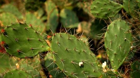 Opuntia ficus cactus, Opuntia ficus-indica. giant cactus in a tropical garden Stock Photo