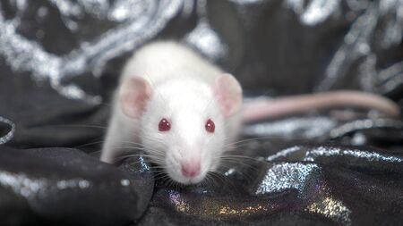 white rat on a dark gray silver background. copy space, symbol of chinese new year