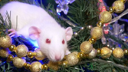 white rat, Christmas animal 2020. sits on a Christmas tree among gold and multi-colored garlands