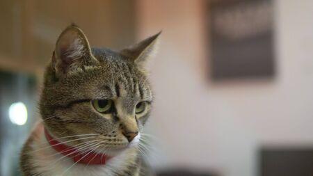 close-up. portrait. Striped cat in a red anti-flea collar Stok Fotoğraf