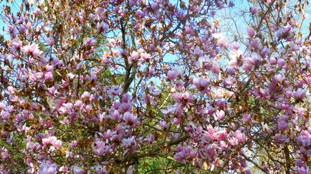 lushly flowering branches of a pink magnolia tree. copy space