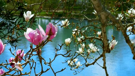beautiful flowers of pink and white magnolias at the pond. natural backdrop. Zdjęcie Seryjne