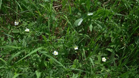 white wild strawberry flowers in a meadow in the grass. spring time