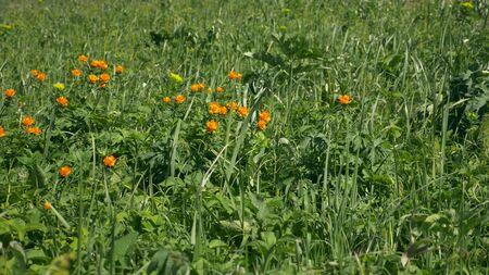 Closeup, beautiful orange troll flowers in the field. wildflowers Zdjęcie Seryjne