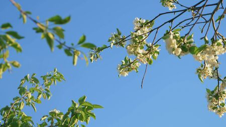 white flowers of apple trees on branches against the blue sky. copy space Zdjęcie Seryjne