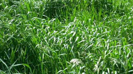 natural background. lush green grass in the wind. closeup