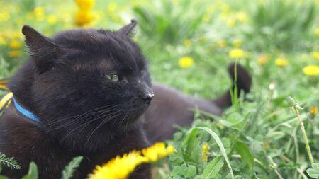 closeup. black cat lying on a green meadow among yellow dandelions Zdjęcie Seryjne