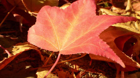 extreme close-up, detailed. multicolored bright fallen maple leaves