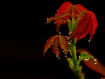 dew drop: Dew drop  on red leaf
