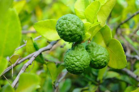 sanguijuela: Tres frutas de Lima leech